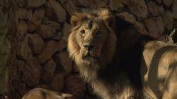 המלך- אריה