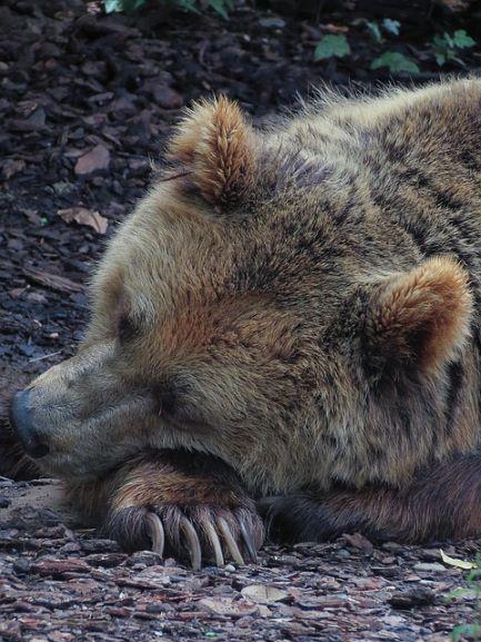 דב ישן