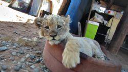 מהדורת האריות